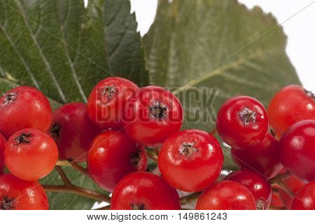 Red fruits of rowan berry on white background close up