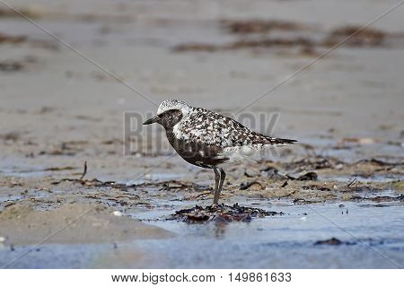 Grey plover standing on sand in its habitat