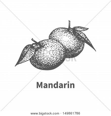 Vector illustration doodle black and white hand-drawn mandarin. Isolated on white background. The concept of harvesting. Vintage style. Fruit with the inscription.