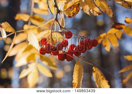 Sunlit yellow leaves and bunches of rowan berries in autumn.