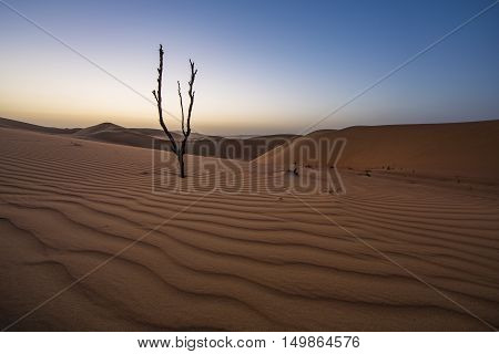 Dead tree in Liwa desert at sunset