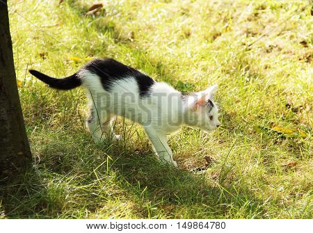cute black and white kitten hunting in the garden