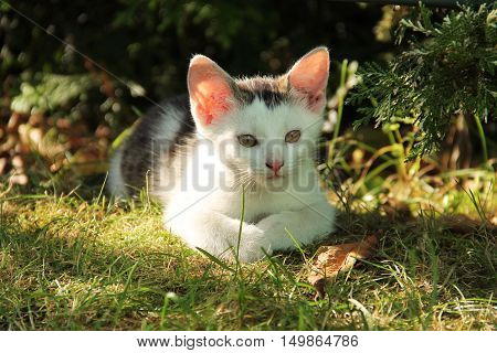 cute black and white kitten with pink ears lying in the grass in autumn