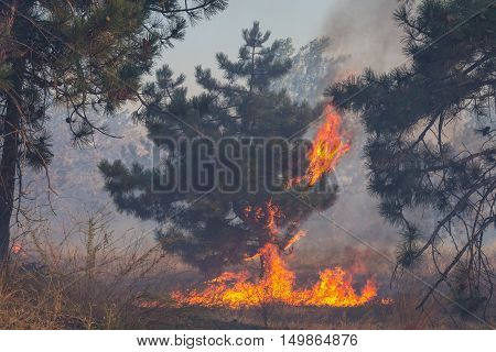Forest fires pine burns with a bright flame