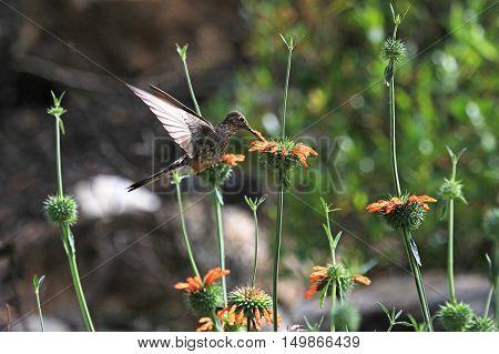 Nice hummingbird feeding on orange flower in the mountains of northern Peru. Cordillera Huayhuash near Cordillera Blanca.