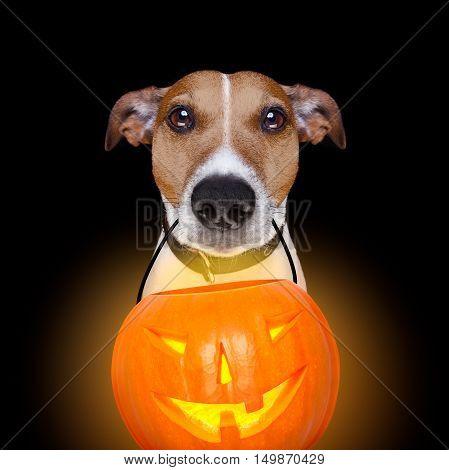 Halloween Pumpkin Dog Isolated On Black