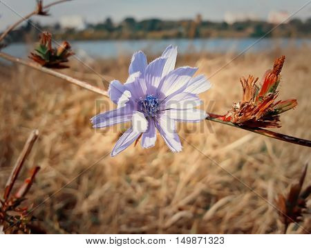 Close up of a blue chicory flower in a autumn meadow