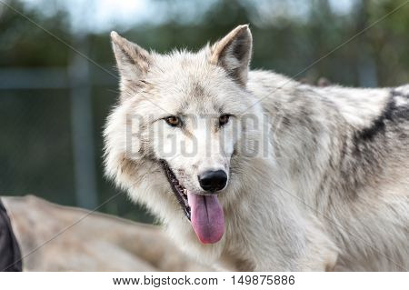 Wild gray wolf closeup looking at camera Quebec Canada