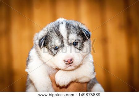 newborn Siberian Husky puppy with dark blue eyes held by one hand
