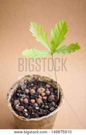 Young oak tree sprout in paper pot