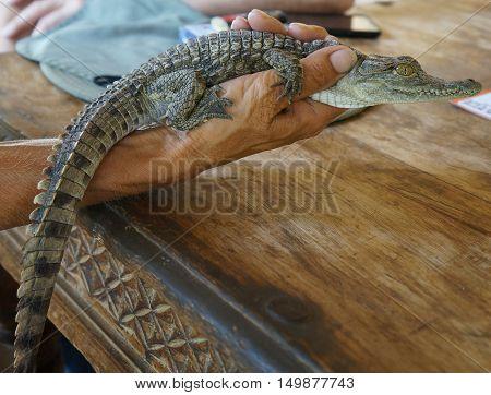 Baby Nile crocodile in old man's hand