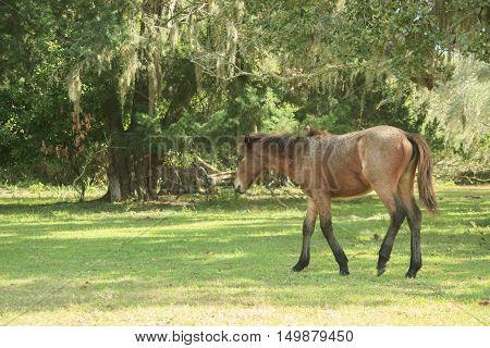 Feral Horse at Cumberland Island National Seashore Georgia