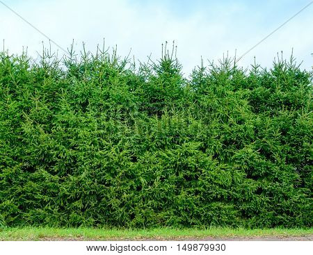 Hedge of clipped fir trees. Green fence.