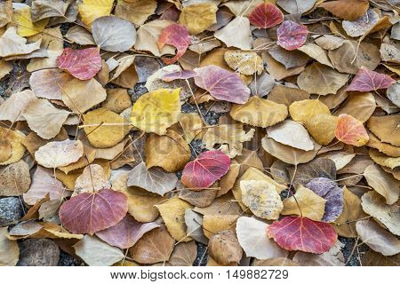 fallen aspen leaves background in Colorado's Rocky Mountains