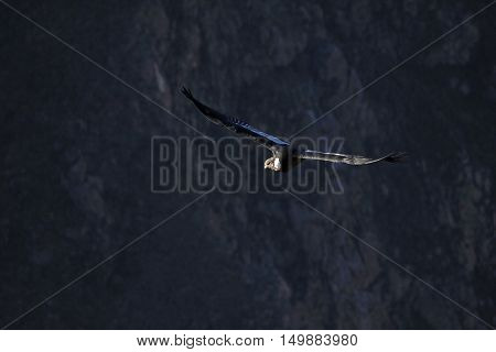 Male adult condor flying with the first sun into the deep Colca canyon and looking for food. The Colca canyon is one of the deepest canyons in the world near the city of Arequipa in Peru.