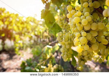 Close up of vine brunch in vineyard