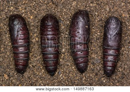 Buff-tip moth (Phalera bucephala) pupae. Chrysalises of moth in family Notodontidae seen in different orientations showing variation