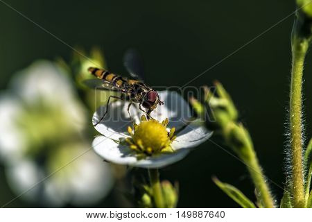 small winged insect on a strawberry flower
