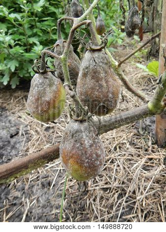 Tree rotten green tomatoes hanging over velour grasses on vegetable patch
