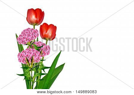 spring flowers tulips isolated on white background. carnation