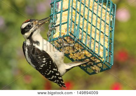 Juvenile Hairy Woodpecker (Picoides villosus) on a feeder with a green background