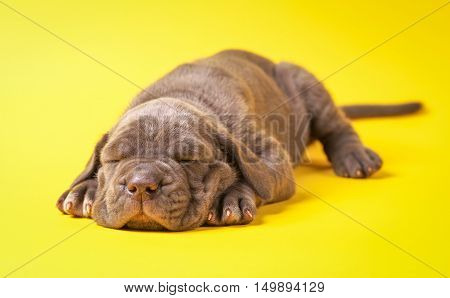 Young puppy italian mastiff cane corso lying on yellow background