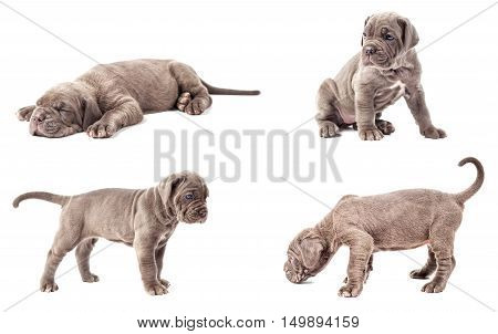 Collection of young puppy italian mastiff cane corso (1 month) on white background.