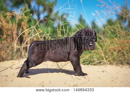 Beautiful young puppy italian mastiff cane corso (1 month) on the sand with dry grass