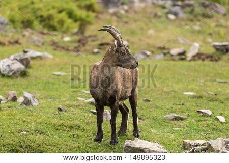 A lone baby ibex on a cliff