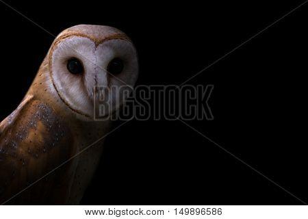 Common Barn Owl In The Dark