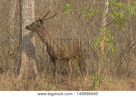 Sambar Deer in the Forest in Nagarhole National Park in India