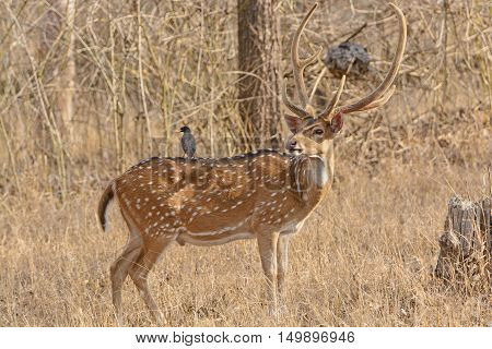 Magpie on the back of a Spotted Deer in Nagarhole National Park in India