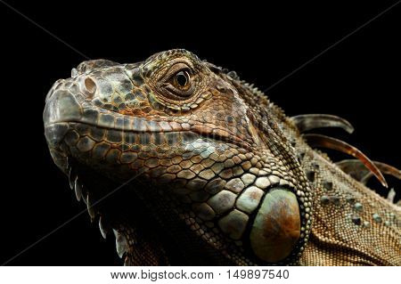 Close-up Head of Green Iguana Stare Isolated on Black Background