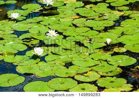 Green lily pads and white flowers covering stagnant shallow pond.