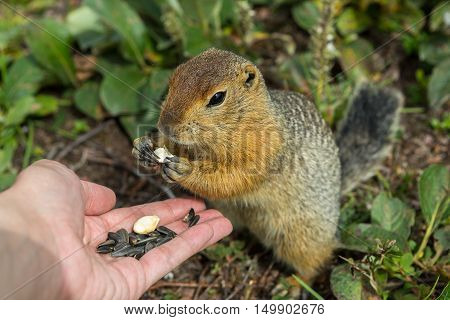 Arctic ground squirrel eats seeds from the human hands. Kamchatka.