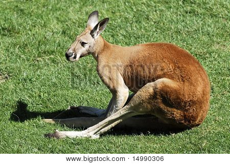 Red kangaroo lying on grass