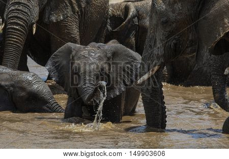 Elephant calf at a waterhole in The Etosha National Park Namibia