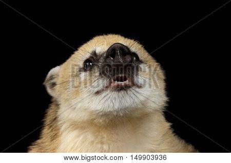 Close-up Funny animal South American coati, Nasua Smiling Isolated on Black Background