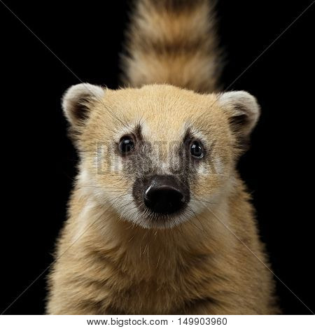 Close-up Portrait of Wild animal South American coati, Nasua Looking in Camera Isolated on Black Background