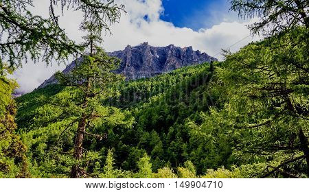 Pine tree forests at the base of Jade Dragon Snow Mountain,Yading,China