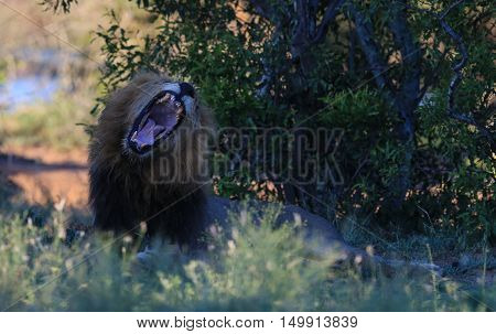 A male lion roars at The Kruger National Park South Africa