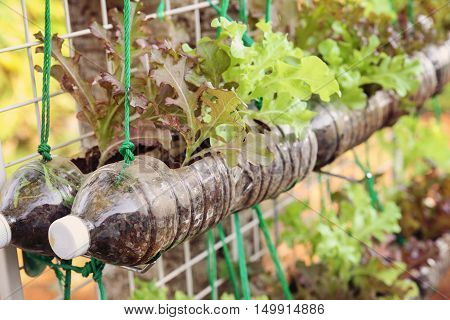 growing lettuce in used plastic bottles reuse recycle eco concept toning