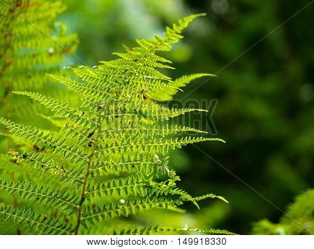 a fern growing in the summer forest. the sun's rays pass through the plant and provide pleasant shade