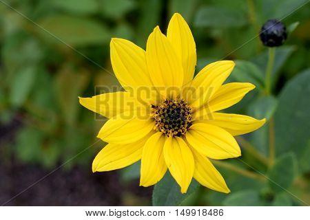 Helianthus pauciflorus, also known as Stiff Sunflower.