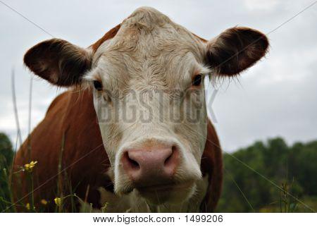 Cow Portrait20