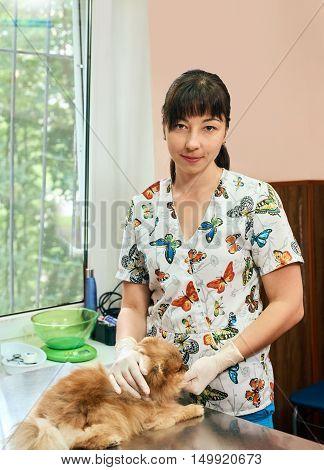 Veterinarian Tickling a pomeranian Dog at veterinary clinic