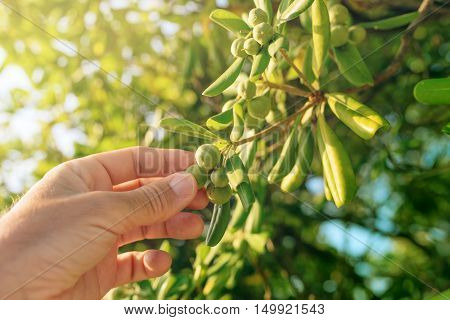 Farmer picking olive like fruit from oleaster shrub common live fencing plant on Adriatic coast region
