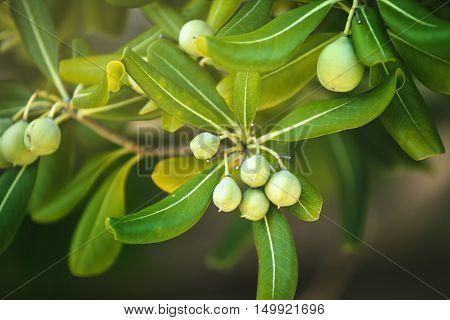 Oleaster shrub with olive like fruit common live fencing plant on Adriatic coast region