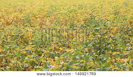 Soybean Cultivation With Nearly Ripe Pods In The Cultivated Field