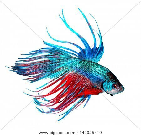 Betta fish, Dragon fish colorful beautiful fish isolated on a white background. Aquarium.